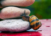 Snail crossing a rock barrier — Stock Photo