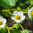 Closeup of strawberry flowers — Stock Photo