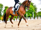 Dressage horse and rider - extended trot — Stock Photo
