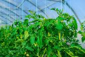Yeşil domates yetiştirmek için sera — Stok fotoğraf