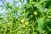 Greenhouse for growing of green tomatoes — Stock Photo