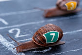 The winner snail crosses the finish line — Stock Photo