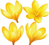 Vector yellow crocuses — Stock Vector