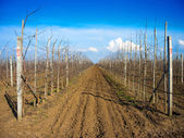 Rows of fruit trees — Stock Photo