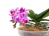Little phalaenopsis — Stock Photo