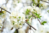 Сherry blossom — Stock Photo