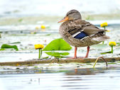 Wild duck on a branch — Stock Photo