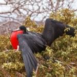 Frigate Bird male, North Seymour Island — Stock Photo