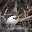 图库照片: Eggs of Frigate Bird