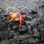 Galapagos crab, Galapagos Islands — Stock Photo