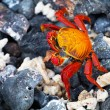 Stock Photo: Galapagos crab, Galapagos Islands