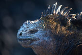 Marine iguana, Amblyrhynchus cristatus — Stock Photo