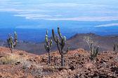 Cactus on a volcano Sierra Negra, Galapagos Islands, Ecuador. — Stock Photo
