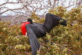 Fregattvogel männlich, north seymour insel — Stockfoto