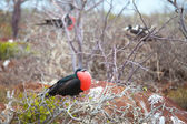 Frigate Bird male, North Seymour Island — Stock Photo