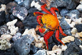 Caranguejo de galápagos, ilhas galápagos — Fotografia Stock