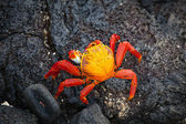 Galapagos crab, Galapagos Islands — Stock Photo