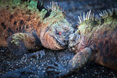 Battle male marine iguanas — Stock Photo