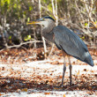 Lava Heron in the wood — Stock Photo