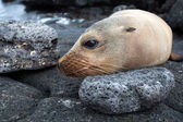 Sea lion on the stone — Stock Photo