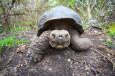 Giant Galapagos turtle — Stock Photo
