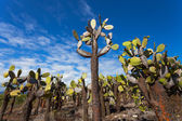 Cactuses at the Santa Cruz Island — Stock Photo