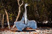 Lava Heron — Stock Photo