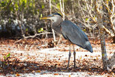 Lava Heron in the wood — Stok fotoğraf