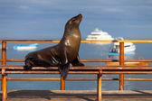 Sea Lion on a bench outside — Stock Photo
