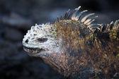 Marine iguana, Amblyrhynchus cristatus. — Stock Photo