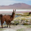 Lama sur la laguna colorada — Photo #16361467