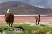 Lama on the Laguna Colorada — Stock Photo