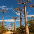 Baobab alley - Stock Photo