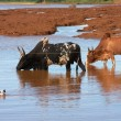 Foto Stock: Zebu on watering