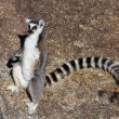Lemur, Madagascar — Stock Photo