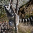 Lemur, Madagascar - Stock Photo