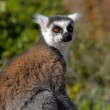 Lemur looks attentively — Stock Photo #17659787