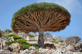 Dragon tree in the desert — Stock Photo