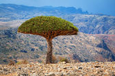 Dragon tree — Stock Photo
