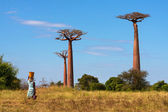 Baobab alley — Stock Photo