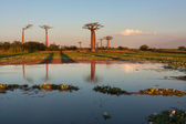 Baobab alley — Stock Photo