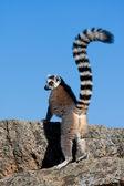 Lemur, madagaskar — Zdjęcie stockowe
