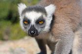 Lemur, Madagascar — Stock Photo