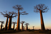 Avenue of baobabs, Madagascar — Stock Photo