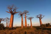 Sunset on avenue of baobabs — Stock Photo