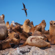 Sea lions in Patagonia — Stock Photo #17673075