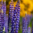 Stock Photo: Lupines closeup