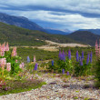 Stock Photo: Lupines, spring flowers in mountains