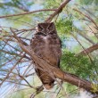 Owl sitting on a bough — Stock Photo #17672975