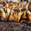 Sea lions in Patagonia — Stock Photo #17672983